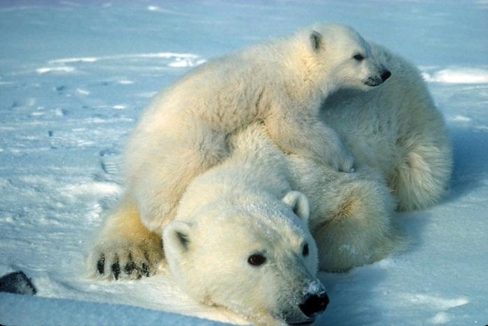 """L'orso polare è considerato """"vulnerabile"""", non ancora """"in estinzione"""", ma la sua sopravvivenza è a rischio a causa del cambiamento climatico"""